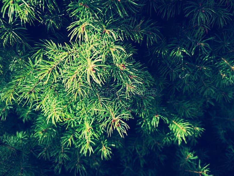 Solar-lit spruce branches stock photos