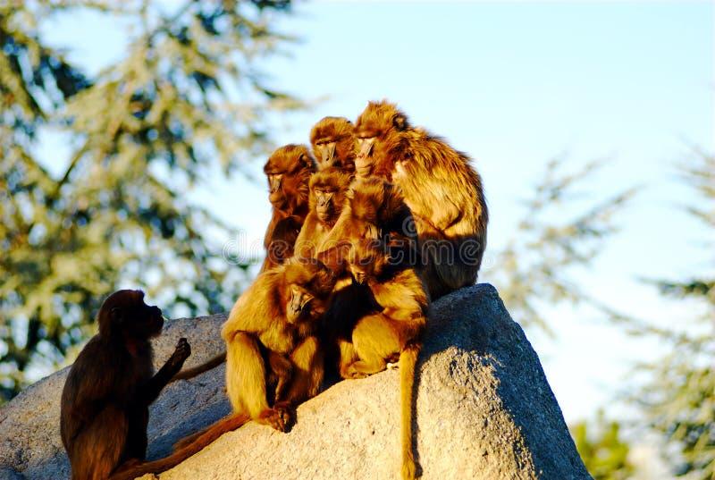 solbada för apor arkivbilder