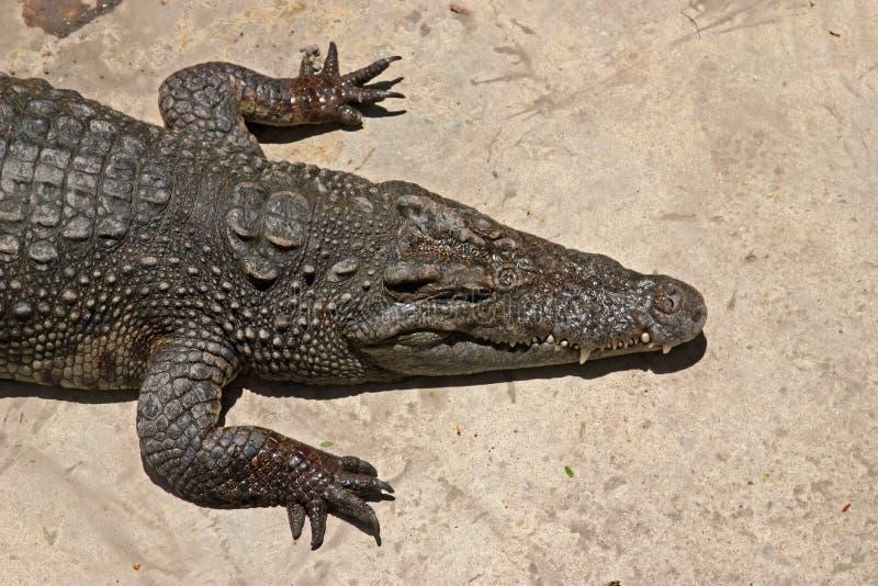 solbada för krokodil arkivbild