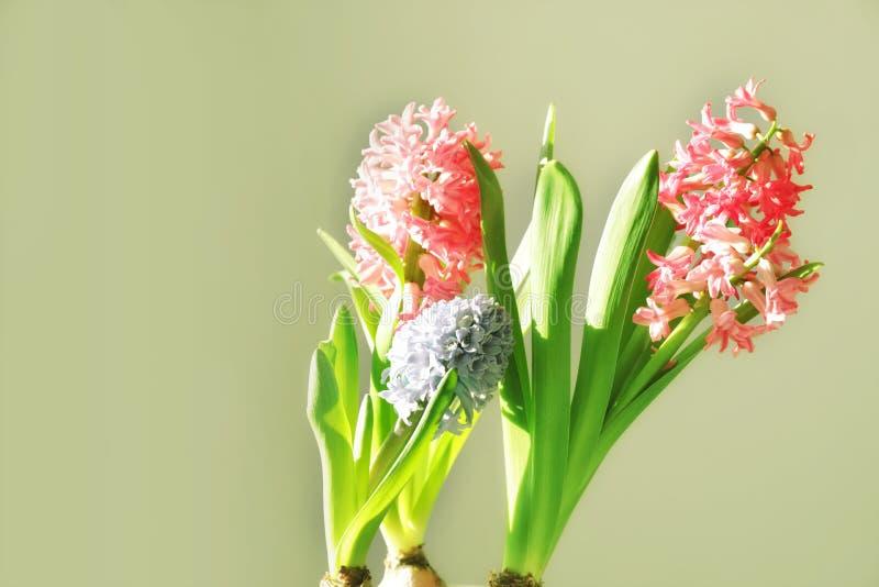 Solbelyst blommande hyacint hemma white för blommaskogfjäder fotografering för bildbyråer
