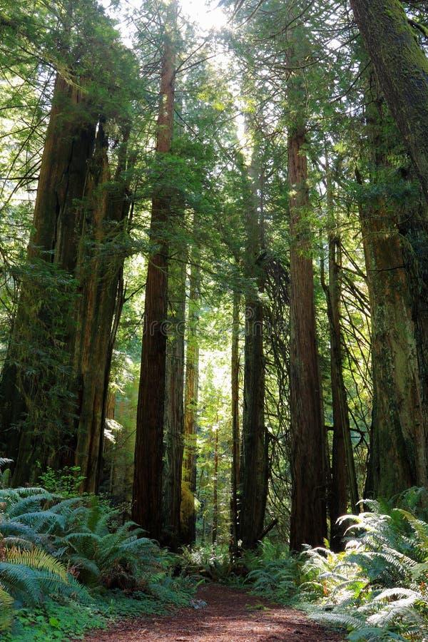 Solbelyst fotvandra slinga till och med forntida redwoodträd i den Prairie Creek redwoodträddelstatsparken, nordliga Kalifornien royaltyfri fotografi