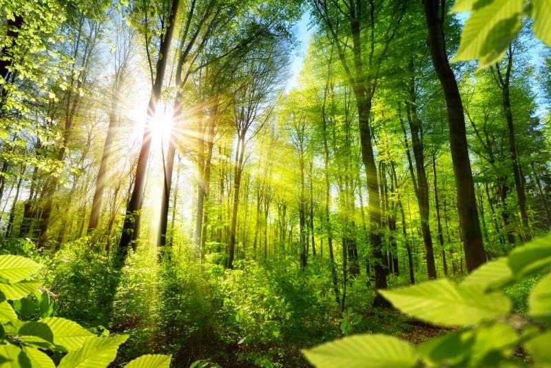 Solbelyst lövverk i skogen fotografering för bildbyråer