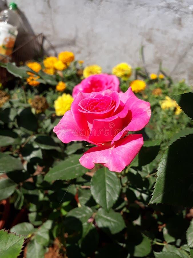 Solbelysta trädgårdrosa färger steg royaltyfri foto