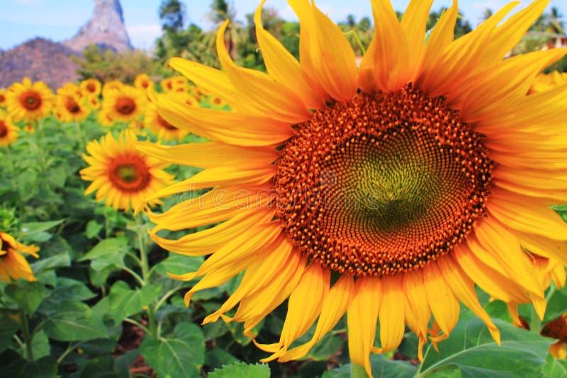 Solblommafält fotografering för bildbyråer