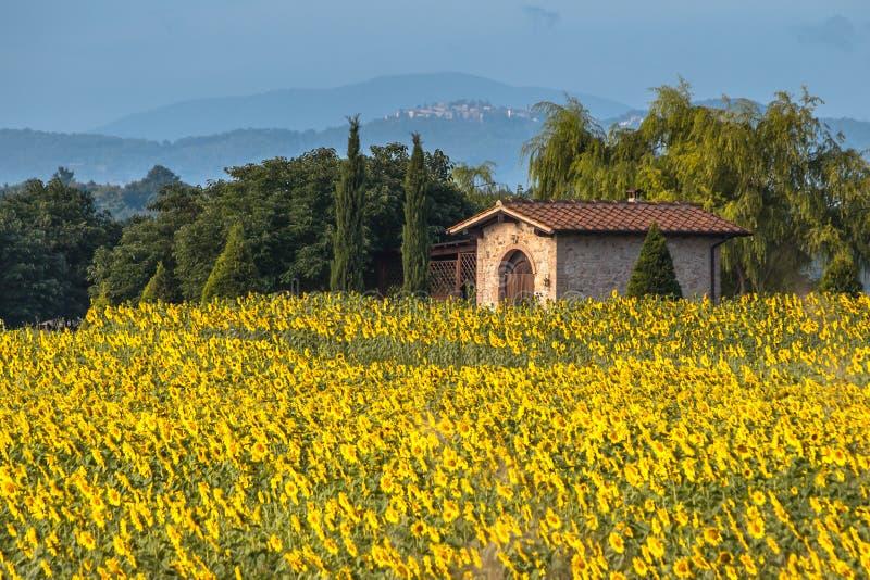 Solblommafält i det Tuscany landskapet, Italien royaltyfria foton