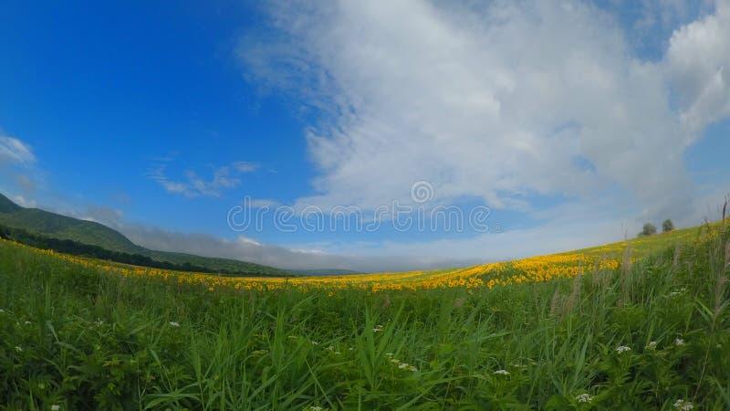 Solblommafält i en solig dag fotografering för bildbyråer