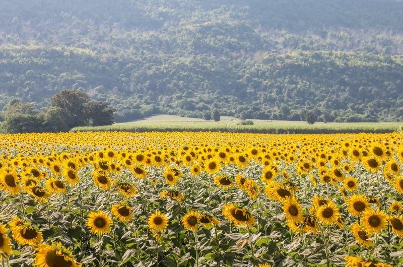 Solblommafält och bergbakgrund fotografering för bildbyråer