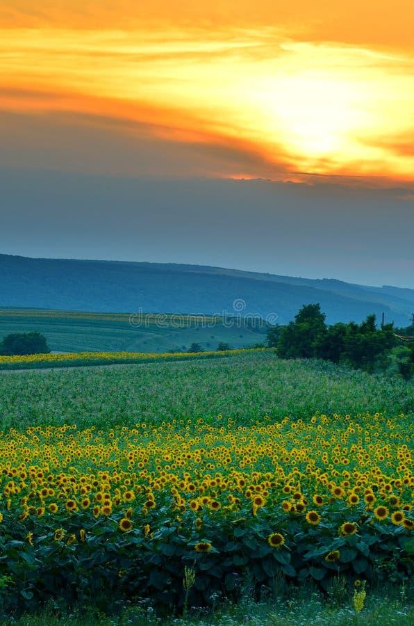 Solblommafält på solnedgången royaltyfri bild