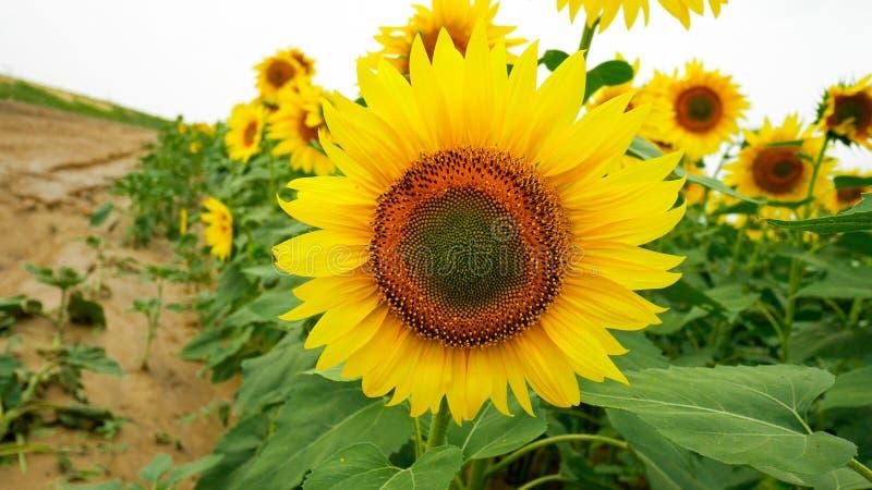 Solblomman behandla som ett barn att blomma i ett fält arkivfoto