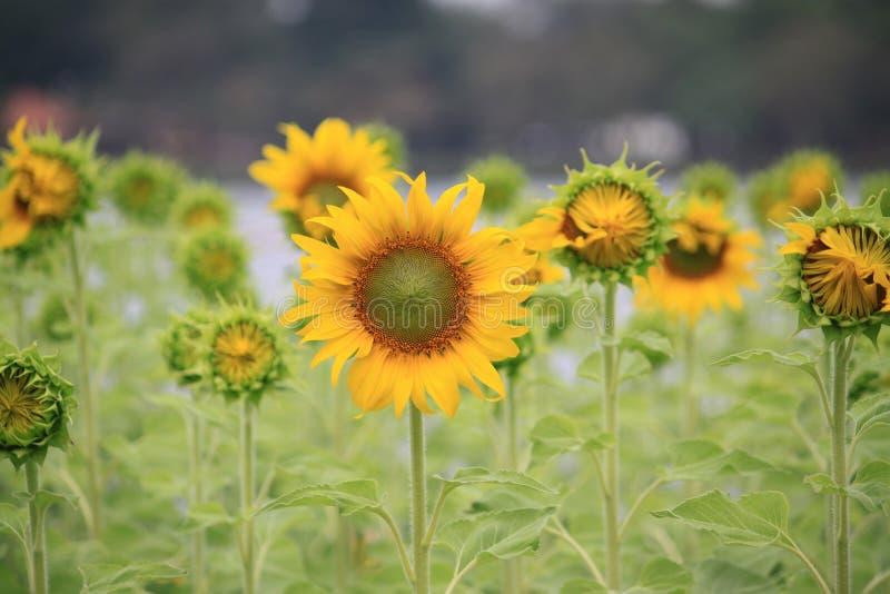 Solblomman i naturen parkerar arkivbilder