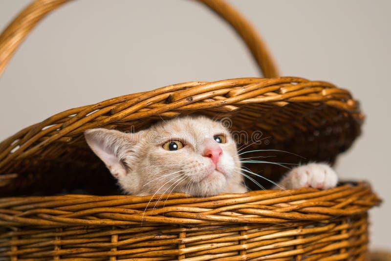 Solbränd kattunge som kikar ut ur picknickkorg fotografering för bildbyråer