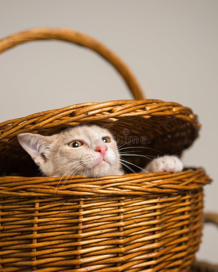 Solbränd kattunge som kikar ut ur picknickkorg royaltyfri fotografi