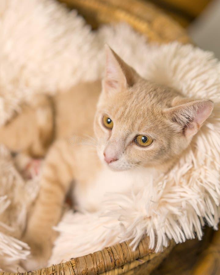 Solbränd kattunge som ner ligger i korg arkivfoto