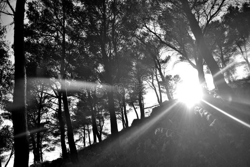 Solbristning till och med skogen fotografering för bildbyråer