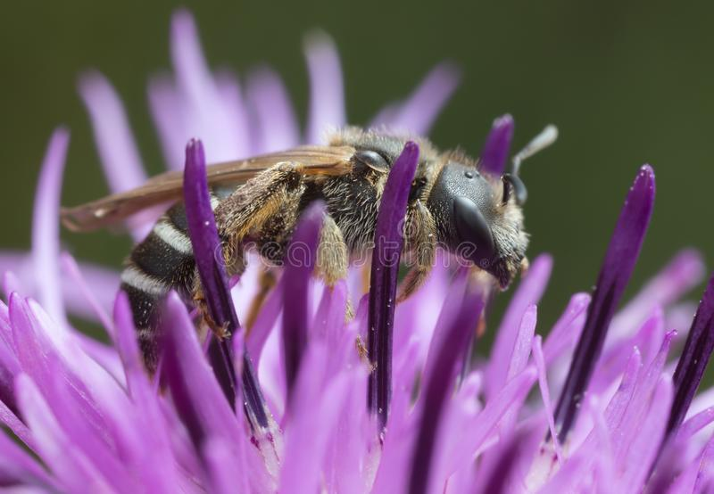Solco-ape di Downland, compressus di halictus sulla centaurea fotografia stock libera da diritti