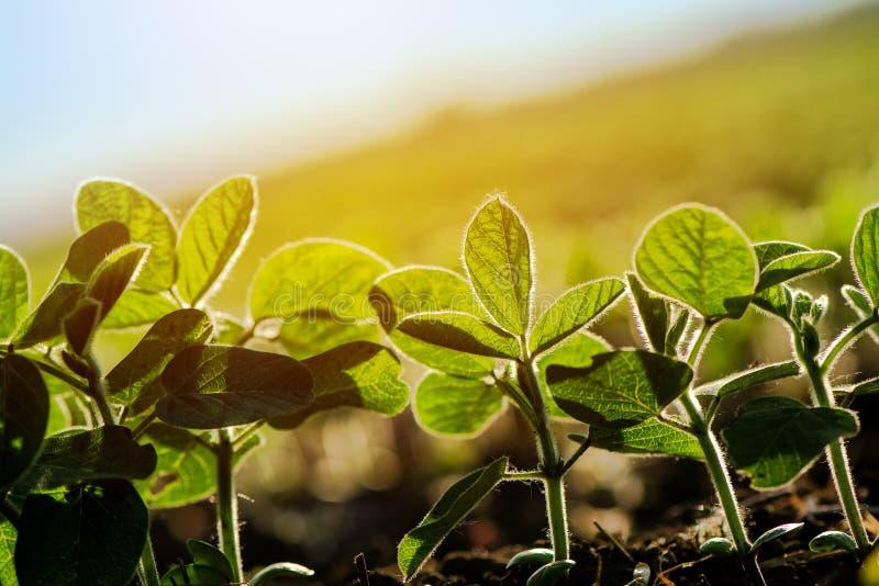 Solco coltivato della soia fotografia stock libera da diritti