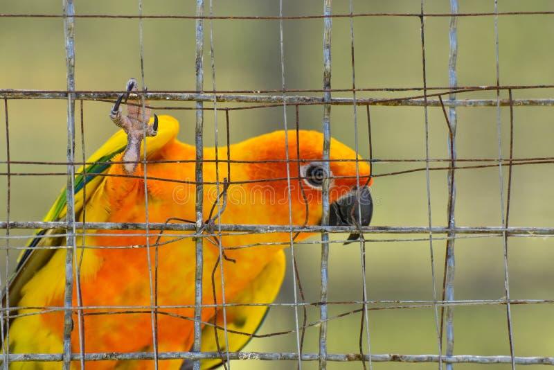 Solconurepapegojor i bur fotografering för bildbyråer