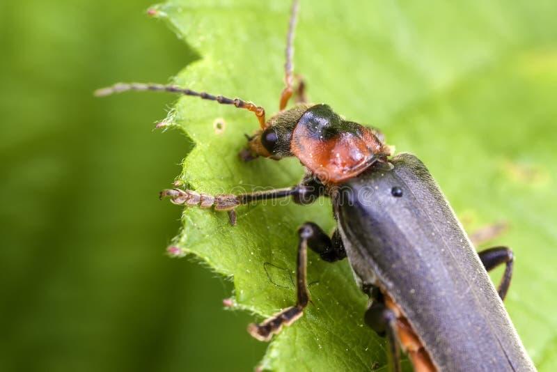 Soldado Beetle - Cantharidae fotografia de stock