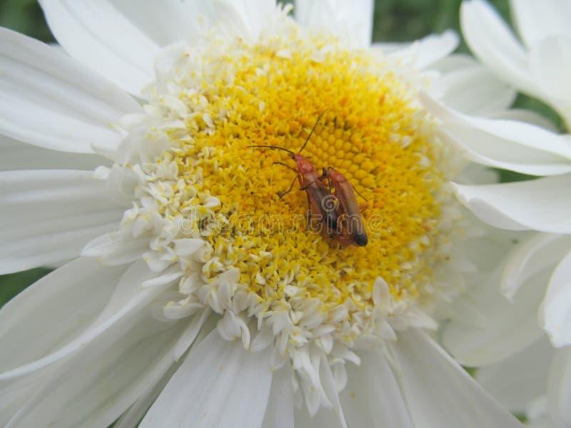 Soldado Beetles Mating de dos rojos foto de archivo