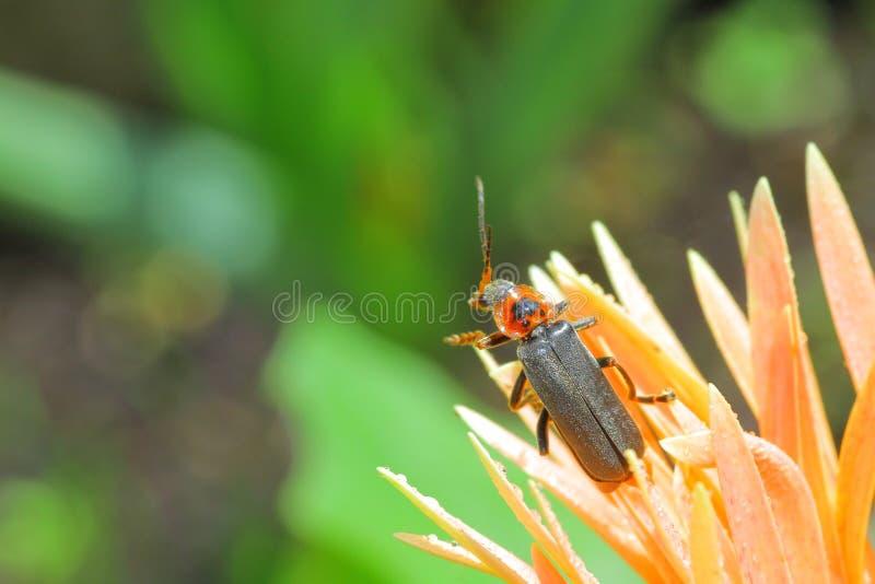 Soldat Beetle lizenzfreie stockbilder