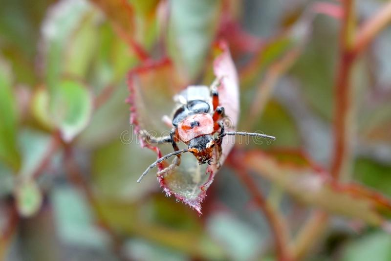 Soldato Beetle immagini stock