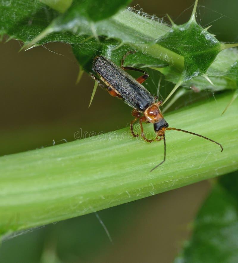 Soldato Beetle Regno Unito - macrofotografia immagini stock