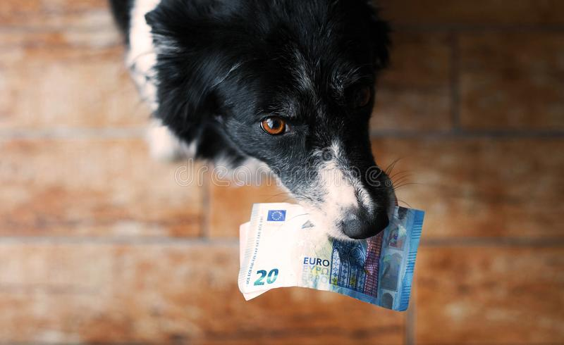 Soldi della tenuta del cane nella bocca Border collie in bianco e nero con le euro banconote Profondità bassa del campo - occhi d fotografie stock libere da diritti
