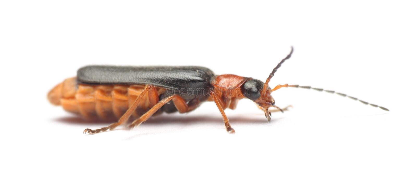 Soldier beetle cantharis pellucida royalty free stock photos