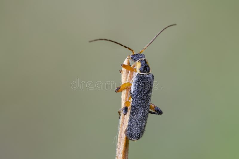 Soldier beetle sitting on dry bent. Dewy soldier beetle Cantharis nigricans sitting on dry bent in field. Close up royalty free stock photos