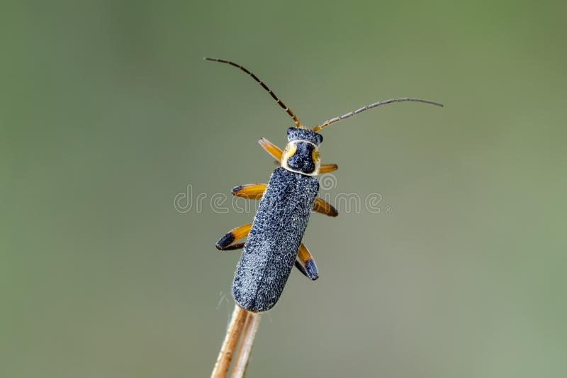 Soldier beetle sitting on dry bent. Dewy soldier beetle Cantharis nigricans sitting on dry bent in field. Close up stock images