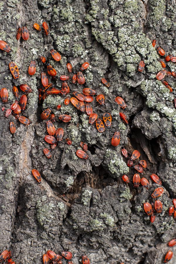 Soldier Bug firebug, a large colony of Pyrrhocoris apterus on a linden tree trunk royalty free stock image