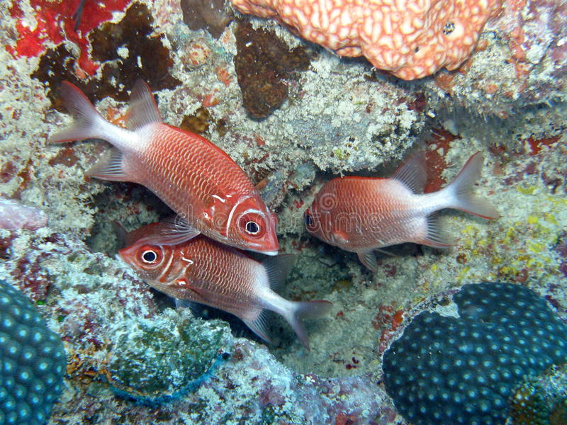 Soldier Fish Seychelles. Soldier fish in seychelles with favite coral royalty free stock photo