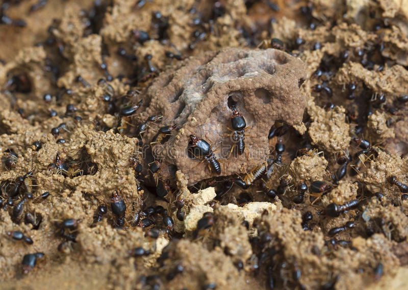 Soldier termite of soil eaters stock image
