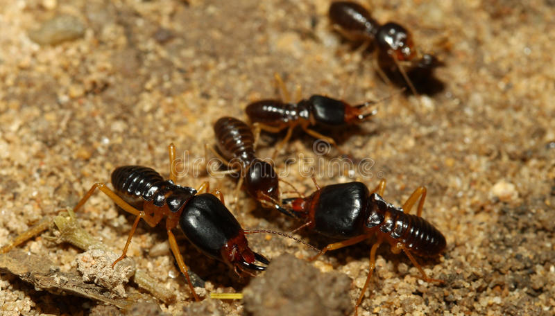 The soldier termite of soil eaters stock photos