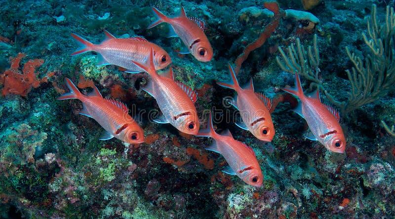 Soldierfish de Blackbar photos libres de droits