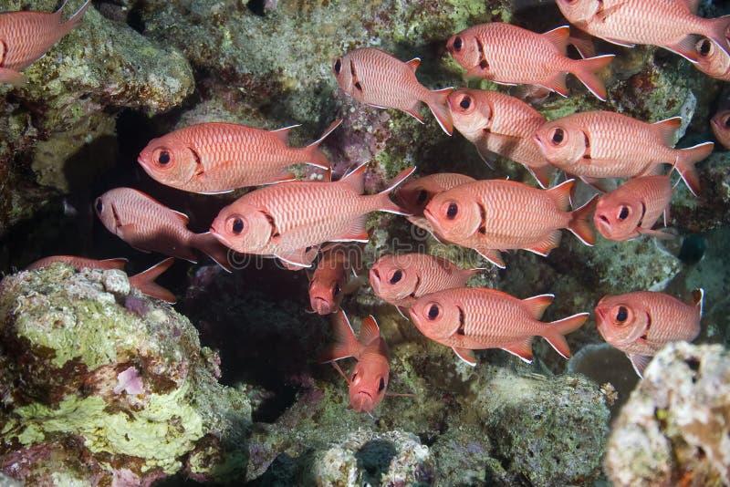 soldierfish de blotcheye photo stock