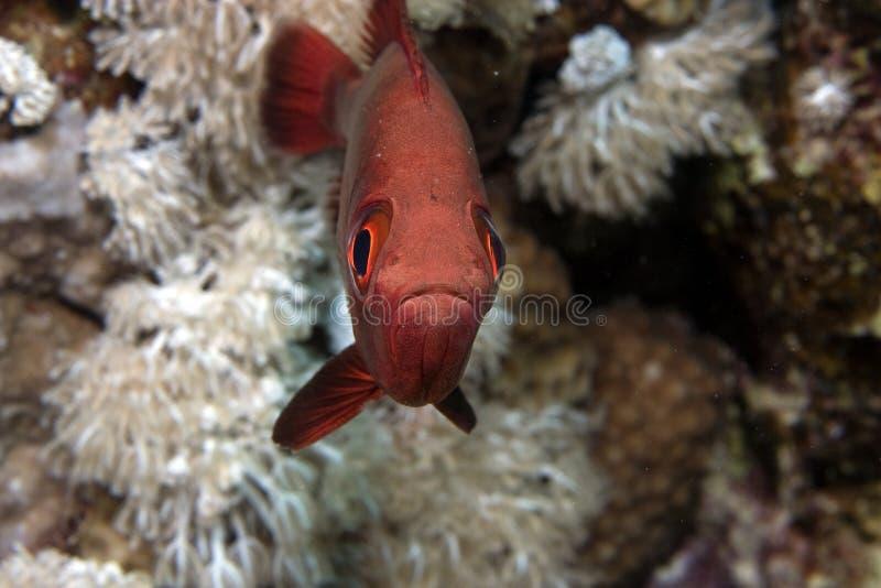 Soldierfish de Blotcheye (myripristis murdjan) image stock