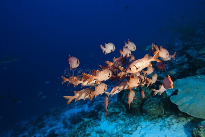 Soldierfish Myripristis Pralinia royalty free stock photos