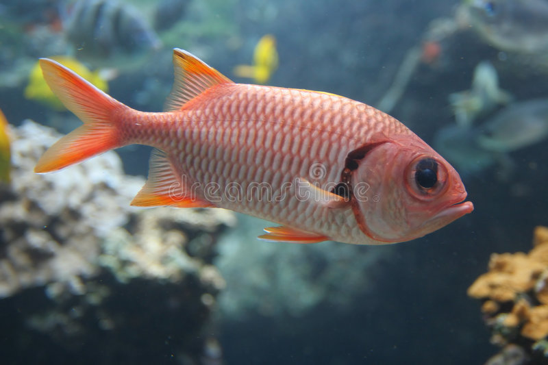 Soldierfish rouge photographie stock