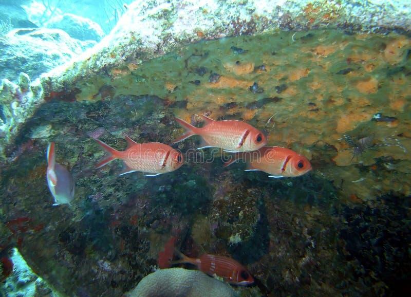 Soldierfishen & vänner vilar i län av skeppsbrottskräp arkivfoton