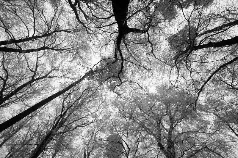 Sole del cielo attraverso i rami di albero di inverno (da sotto). immagini stock