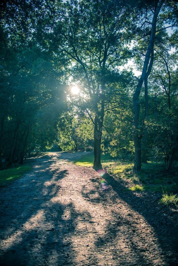 Sole della primavera che splende attraverso la foresta verde fotografia stock libera da diritti