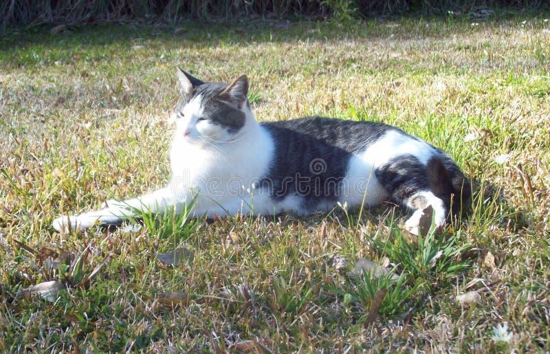 Sole di primavera: Cat Leisurely Sits nell'erba immagine stock libera da diritti
