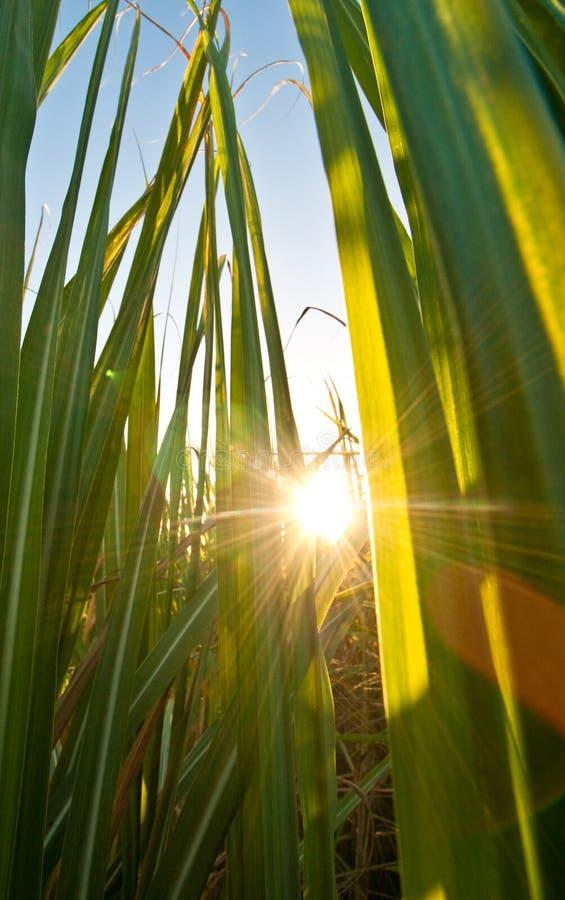 Sole giallo luminoso che viene attraverso la canna da zucchero verde f immagine stock