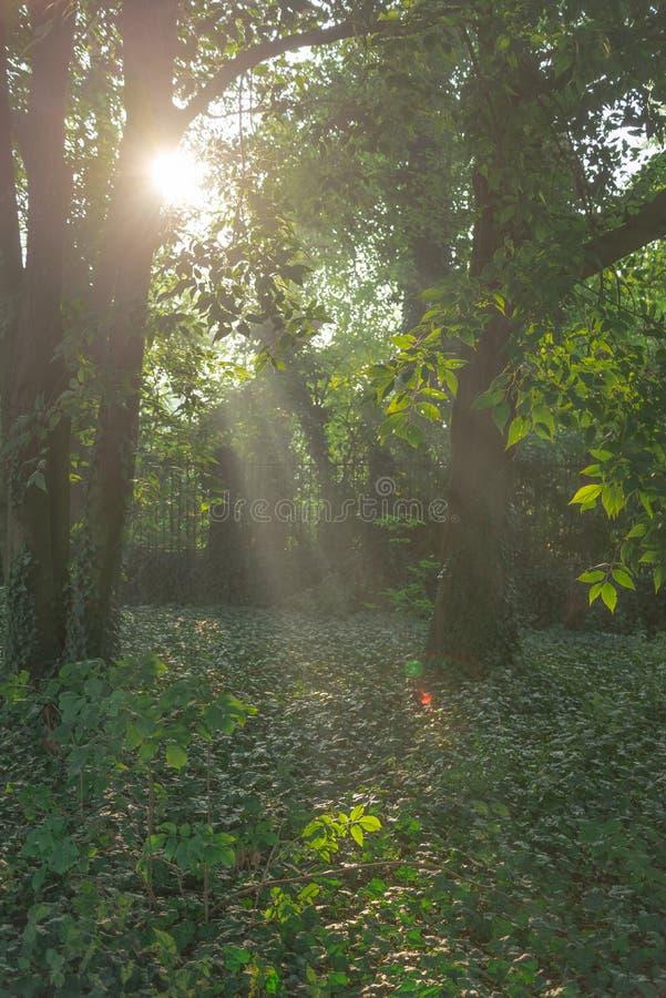Sole leggero posteriore di mattina nella foresta verde immagine stock