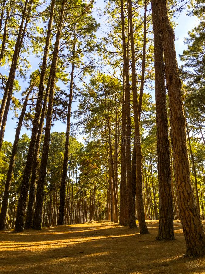 Sole nel pino di Forest Deep del pino e nel paesaggio della foresta dell'abete fotografie stock libere da diritti