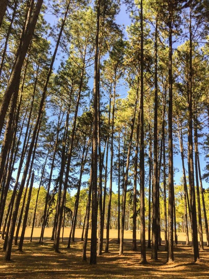 Sole nel pino di Forest Deep del pino e nel paesaggio della foresta dell'abete fotografia stock libera da diritti