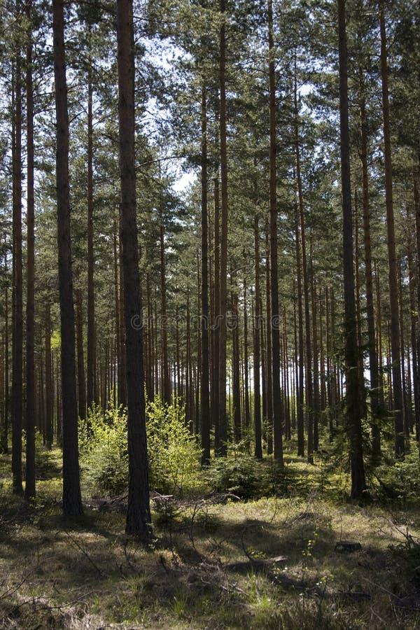 Sole nella foresta del pino fotografia stock libera da diritti