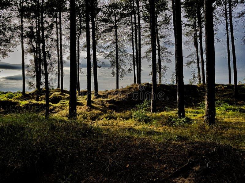 Sole nella foresta di Tentsmuir fotografia stock