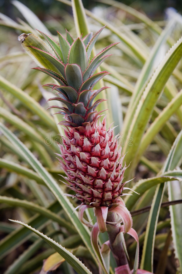 Free Sole Pineapple On The Stalk Royalty Free Stock Photos - 1120158